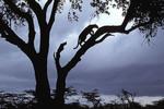 Silhouette of a male leopard.