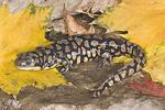 Typical adult Eastern Tiger Salamander       Ambystomatidae