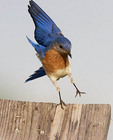 Adult male Eastern Bluebird landing on top of a bluebird house