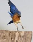 Adult male Eastern Bluebird landing on top of a bluebird house