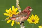 Male Purple Finch with yellow flowers