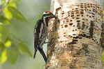 Yellow-bellied Sapsucker adult male dipping insects in sap before feeding young in nearby nest.