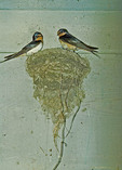 Barn Swallows in nest