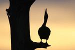 Double crested Cormorant silhouette.