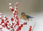 Female Eastern Bluebird perched on snowy winterberry.