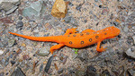 Red-Spotted Newt on a rock.