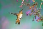 Rufous Hummingbird by a flower.