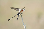 Scissor-tailed Flycatcher on a branch.