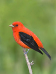 Scarlet tanager on a tree branch.