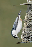 White breasted nuthatch on a feeder.