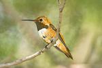 Rufous Hummingbird on a tree branch.