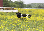 Diary cow in a pasture