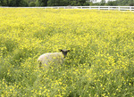 Sheep in a Sprint time pasture