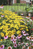 Ohio garden of Black Eyed Susans and Coneflowers