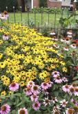 Ohio garden of Black Eyed Susans and Coneflowers