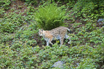 Lynx (Lynx Lynx), Luchs, Nordluchs. (captive) Nationalpark Bavarian Forest, Germany, Nationalpark Bayerischer Wald, Deutschland