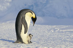Emperor penguin mother with baby chick
