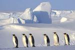 Emperor penguin (Aptenodytes forsteri) Emperor penguins, colony, Dawson-Lambton glacier, Antarctica, December. Kaiserpinguin, Kaiserpinguine, Kolonie,Dawson-Lambton Gletscher, Antarktis,Dezember.