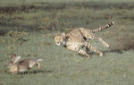 Cheetah chasing after a hare.