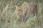 Female leopard sneaking through tall grass.