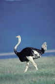 Ostrich walking through the fields of Tanzania.