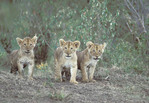 Three lion cubs.
