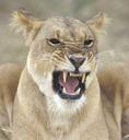 Female lion growling.