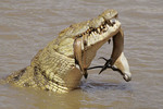 Crocodile with the remains of a Grant gazelle in its mouth.