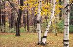 Autumn birch trees in Ohio