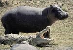 Hippopotamus and crocodile in Kenya, Africa.