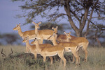 Group of impalas.
