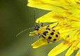 12 Spotted Cucumber Beetle.
