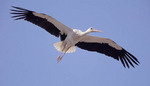 White stork, flying over Alfaro, Spain, World Capital of White Storks.