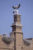 White storks nesting in  Alfaro, Spain,  World Capital of White Storks.