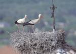 White storks nesting in Alfaro, Spain, World Capital of White Storks. P