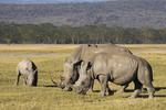 Family of Rhinos at Lake Nakuru, Kenya