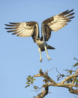 Osprey landing on a branch near its nest