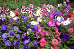 Flower bed of Petunias