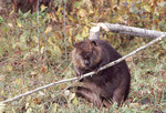 Adult male Beaver eating an Aspen Tree branch