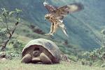 Galapagos hawk & Galapagos tortoise, Volcano alcedo, Galapagos, Ecuador.