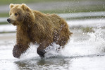 Brown bear sow chasing salmon in the river.