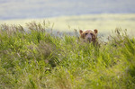 Brown bear in tall grass behind the falls feeding on salmon.