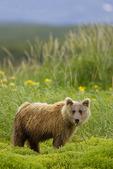 Brown bear feeding upon sedge grass among wildflowers.