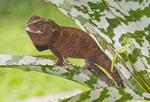 Forest dragon in Peruvian Amazon.
