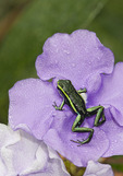 Three Striped Poison Dart Frog on Yesterday-today-and-tomorrow flower.