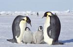 Emperor penguin family , Antarctica, Dawson-Lambton Glacier