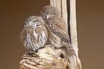 Ferruginous Pygmy Owls