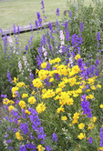 Coreopsis and Larkspur mixed together in full bloom