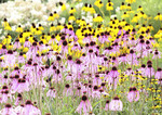 Summer field of Purple Cone flowers and Blak-eyed Susans