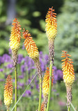 Red-Hot Poker in Summer bloom part of the  Lily Family